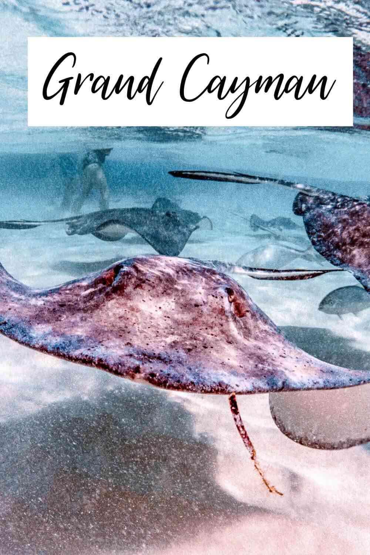 Stingrays swimming in Grand Cayman Island