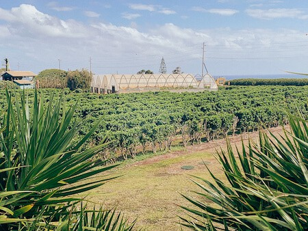 Rows of coffee coffee plants and greenhouse at Kauai Coffee Plantation